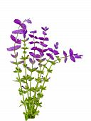 picture of clary  - Salvia Viridis wild flower plants isolated on white - JPG