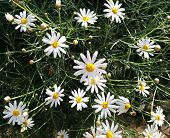 Camomiles Flowers Close-up