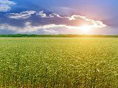 Ear  Wheat  Field