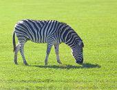 pic of eat grass  - Zebra eating grass on a grassland - JPG