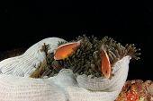 Anemone and Skunk Anemonefish