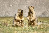 image of marmot  - Himalayan marmots  - JPG