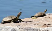 Red eared slider turtles