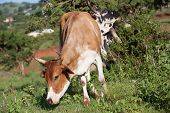 Cow Animal Field
