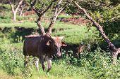 Cow Animal