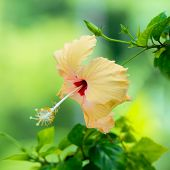 Peach Hibiscus Flower Head On Green Blurred Background, Closeup