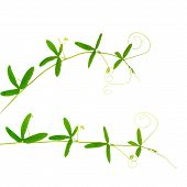 Two Green Branches Of Passionflower With Tendrils Is Isolated On White Background, Closeup