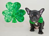stock photo of french bulldog puppy  - Little French Bulldog puppy wearing a green bow tie sitting next to a shamrock with copy space - JPG