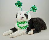foto of headband  - Cute Sheepdog puppy all ready for St Patrick - JPG