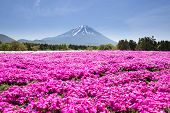 foto of cherry  - Japan Shibazakura Festival with the field of pink moss of Sakura or cherry blossom with Mountain Fuji Yamanashi Japan  - JPG