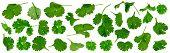 foto of cilantro  - Fresh cilantro twigs isolated on white background - JPG
