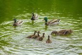 pic of duck  - Mother duck teaching her babies to find food in the water - JPG
