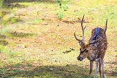 stock photo of deer  - Deer Found in Sariska Tiger Reserve,Alwar,Rajastha, No Lion was found only deer