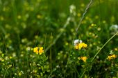 picture of hermaphrodite  - Closeup of yellow flowering Lathyrus pratensis or meadow vetchling plants in their own natural habitat - JPG