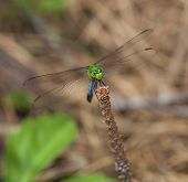 pic of stick-bugs  - Green dragonfly on a stick staring directly at the camera - JPG