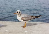foto of sevastopol  - Seagull walking on the pier in the background of blue sea in a sunny summer day - JPG