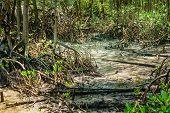 picture of sedimentation  - Mangrove forest grow in saline coastal sediment habitats in the tropics - JPG