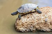 picture of swamps  - Turtle or tortoise on stone on swamp - JPG