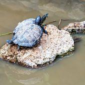 picture of tortoise  - Turtles or tortoises on stone on swamp - JPG