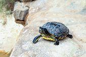 stock photo of tortoise  - Turtle or tortoise sitting on the stone - JPG