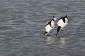 image of mating  - A female pied avocet indicates to her male partner that she is ready to mate - JPG