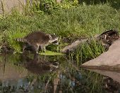 image of raccoon  - Young raccoon tries crosses lake with some reflection - JPG