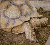 pic of tortoise  - Aldabra giant tortoise  - JPG