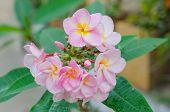 picture of frangipani  - Bunch of pink Frangipani Frangipanni or plumeria tropical flowers - JPG