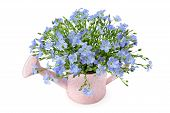 stock photo of flax plant  - Flax flowers in a watering can isolated on white background - JPG