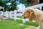 image of eat grass  - White sheep eating grass in a cage at farm - JPG