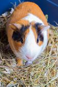 pic of guinea pig  - Spotted orange - JPG