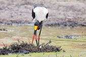 pic of stork  - Yellow billed stork fishing for food in a water hole - JPG