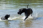 picture of great dane  - Black Great Dane and a small black dog are playing in the water - JPG