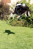 picture of collie  - Rear view of the Border collie that is jumping and catching its shadow - JPG