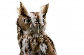 stock photo of screech-owl  - Portrait of an Eastern Screech Owl isolated on a white background - JPG