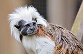 Cotton-top Tamarin Monkey poster