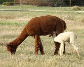 Nursing Alpaca Baby