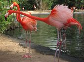 Mating Flamingo