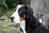 Greater Swiss Mountain Dog (Horiz)