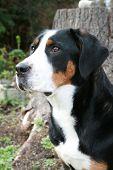 Greater Swiss Mountain Dog (Vert)