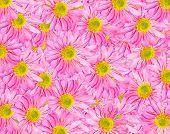 Pink Gerbera Daisies Background