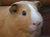 image of guinea pig  - Close up of a cream and white guinea pigs face with a brick background - JPG