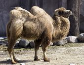 image of camel-cart  - the two hump camel is from asia the humps are filled with fat not water - JPG
