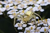 Crab Spider Recollecting Pollen