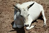 stock photo of zebu  - The Zebu was relaxing outside on a hot day in Florida - JPG