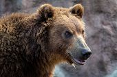 Portrait Of Brown Bear (ursus Arctos Beringianus). Kamchatka Brown Bear. poster