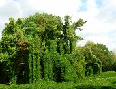 Kudzu, A Growing Problem