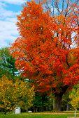 Bright, Beautiful Orange Blaze Maple Foliage In Autumn Color