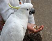 Cockatoo Feeding From Hand