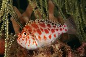 stock photo of hawkfish  - A spotted hawkfish swimming between seagrass Kwazula Natal South Africa - JPG